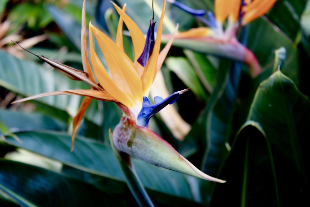 Strelitzia typical flower Tenerife