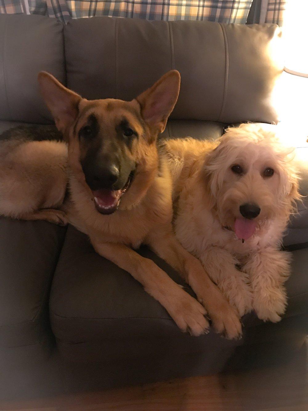 Elle and friend German Shepherd friend Kovu (Service Dog Client)