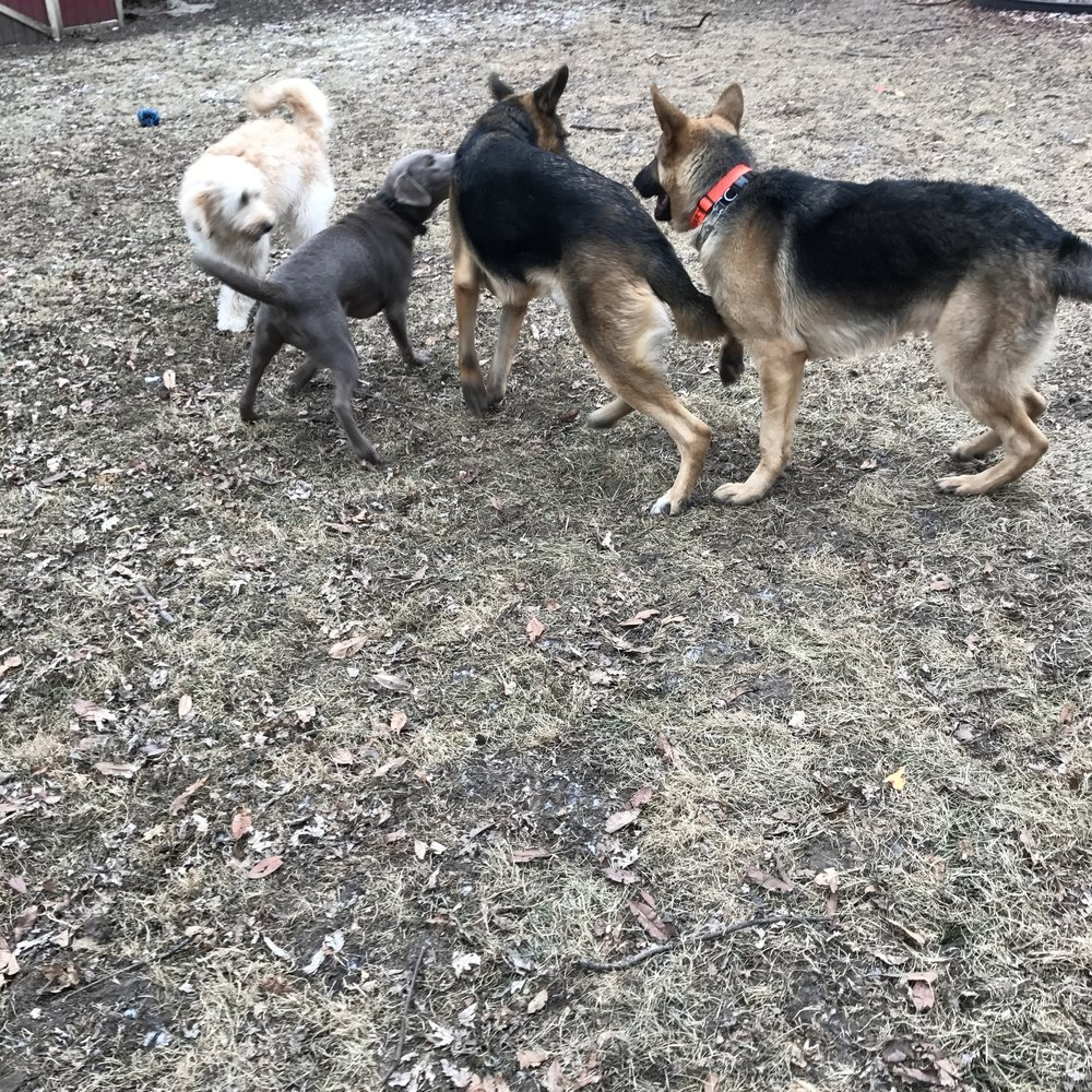Playing with friends during yard time! It has been a cold gloomy week, but the dogs still seemed to enjoy being outside!