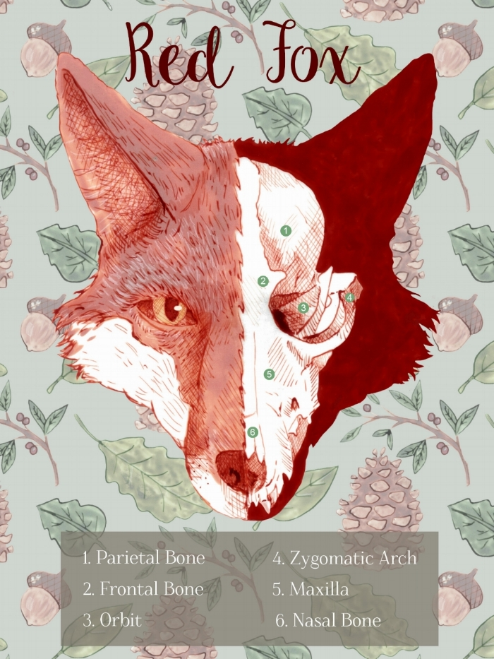 Red Fox Skull Infographic - 2016 AD - Marco Cibola Infographic on the skull of a red fox.