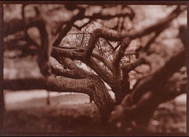 French Tree , salt print