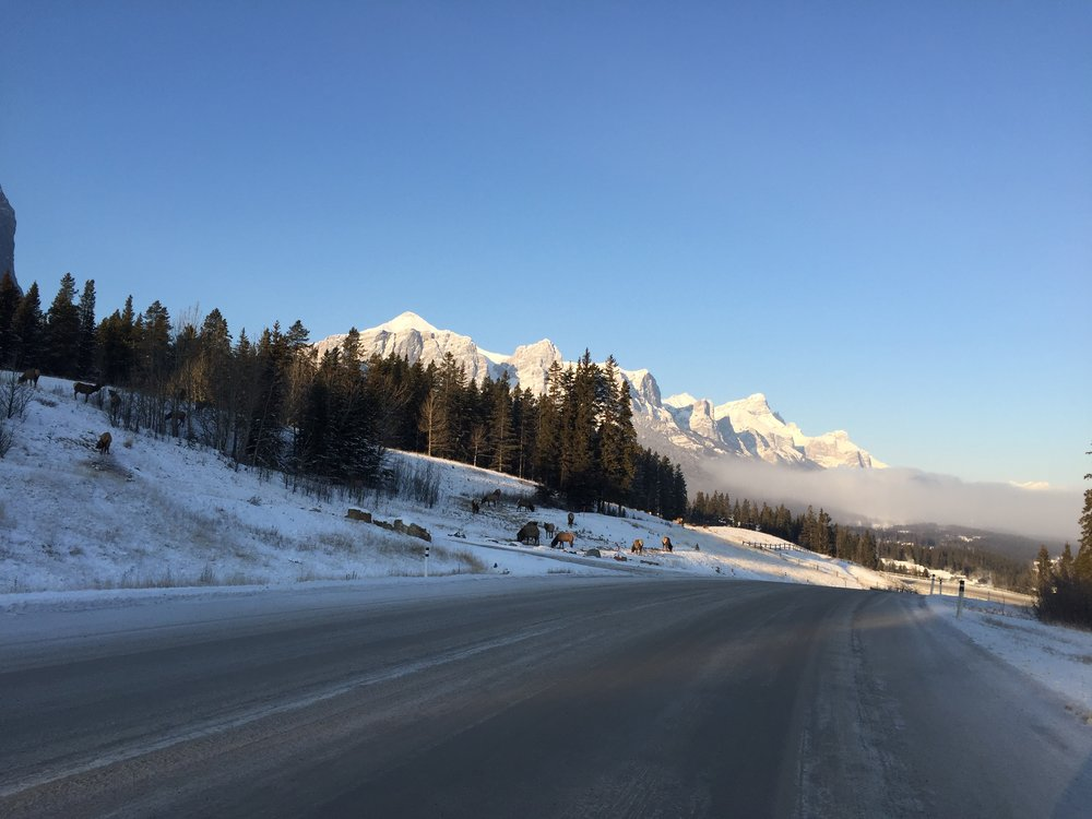 Elk feed along Three Sisters Parkway in Canmore in December 2016.
