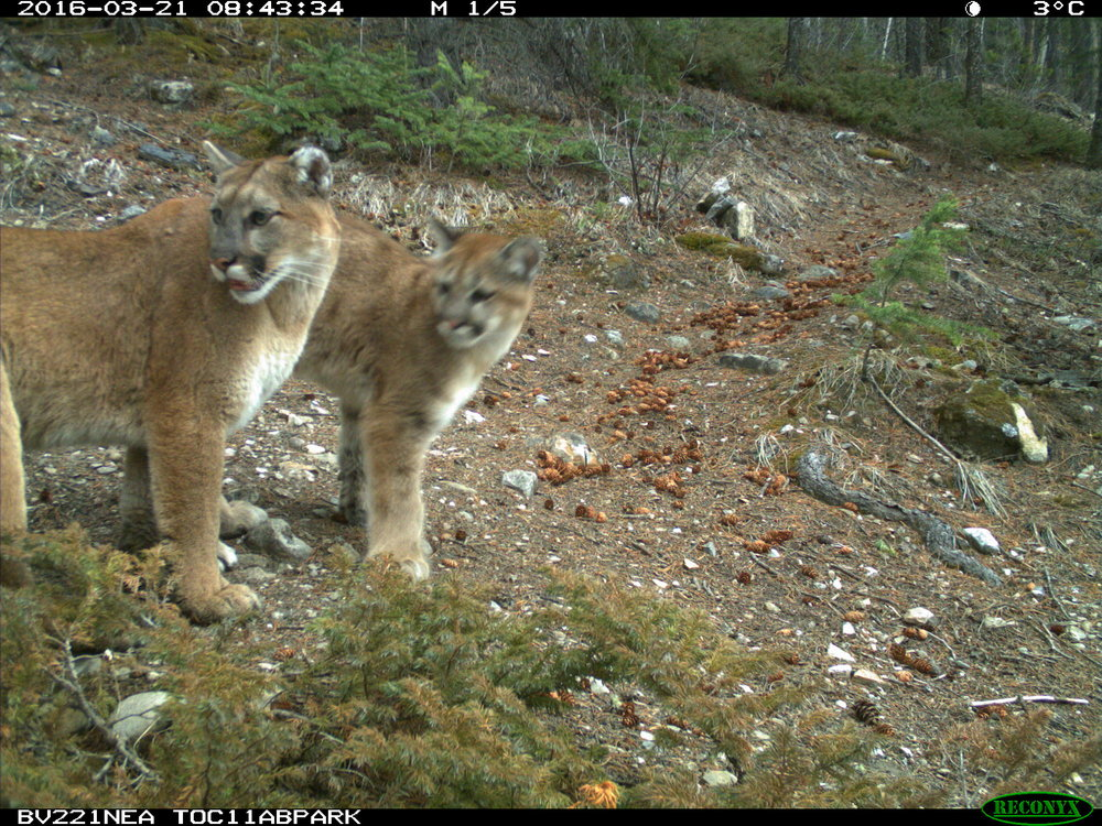 A wildlife camera photo of cougars around Canmore. Courtesy: Alberta Parks