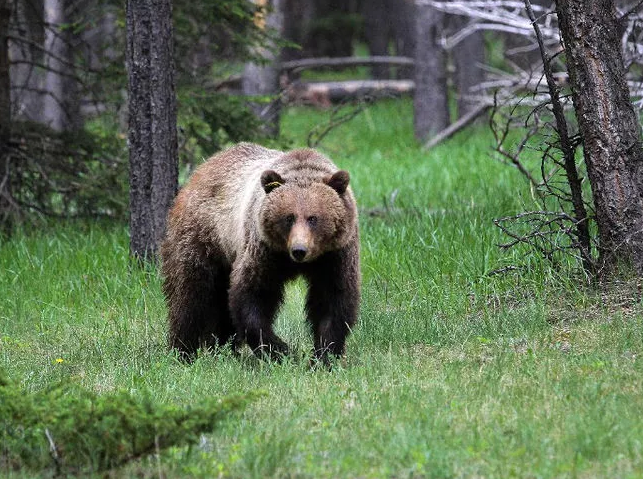Grizzly bear No. 148 in Banff National Park in June 2014. Photo courtesy: Leah Hennel ( http://leahhennelphotography.com/ )