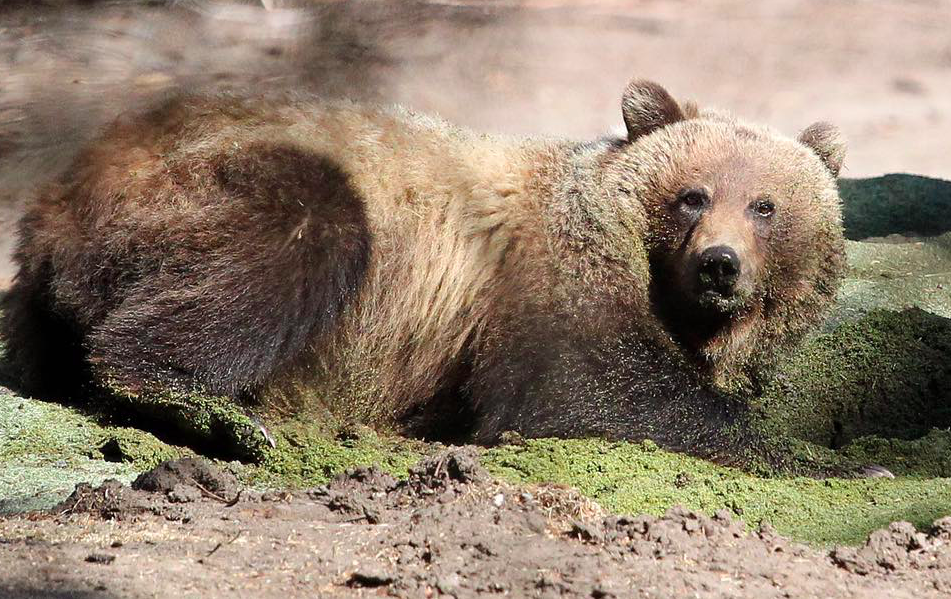 Grizzly bear No. 148 in June 2014 on the day before she was tagged and collared on the Banff Springs golf course. Photo: Leah Hennel/Calgary Herald.