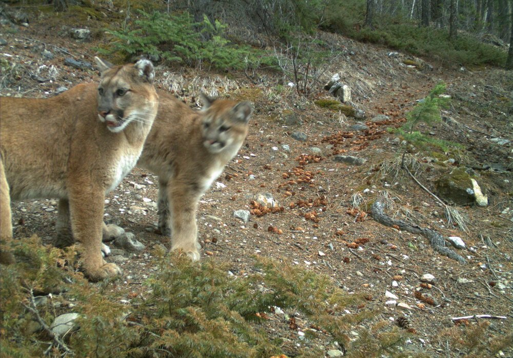 Cougars on a trail camera in the Bow Valley. Photo: Alberta Parks