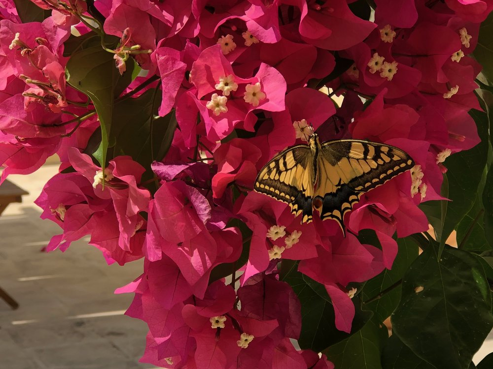 Vividly coloured butterfly and bougainvillaa