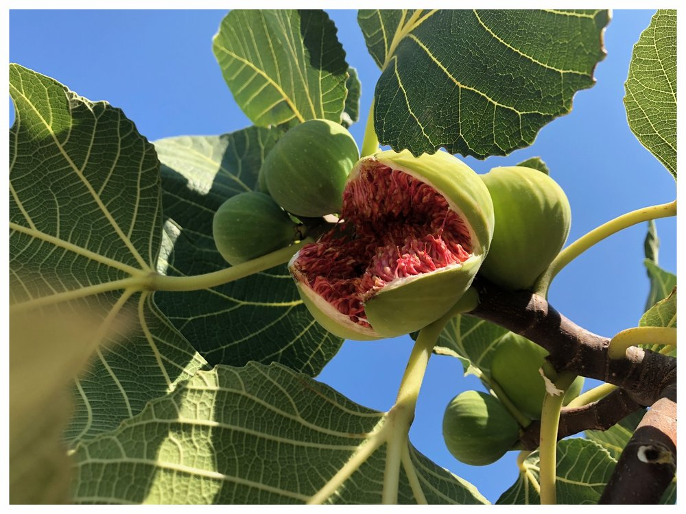 Fresh figs abound