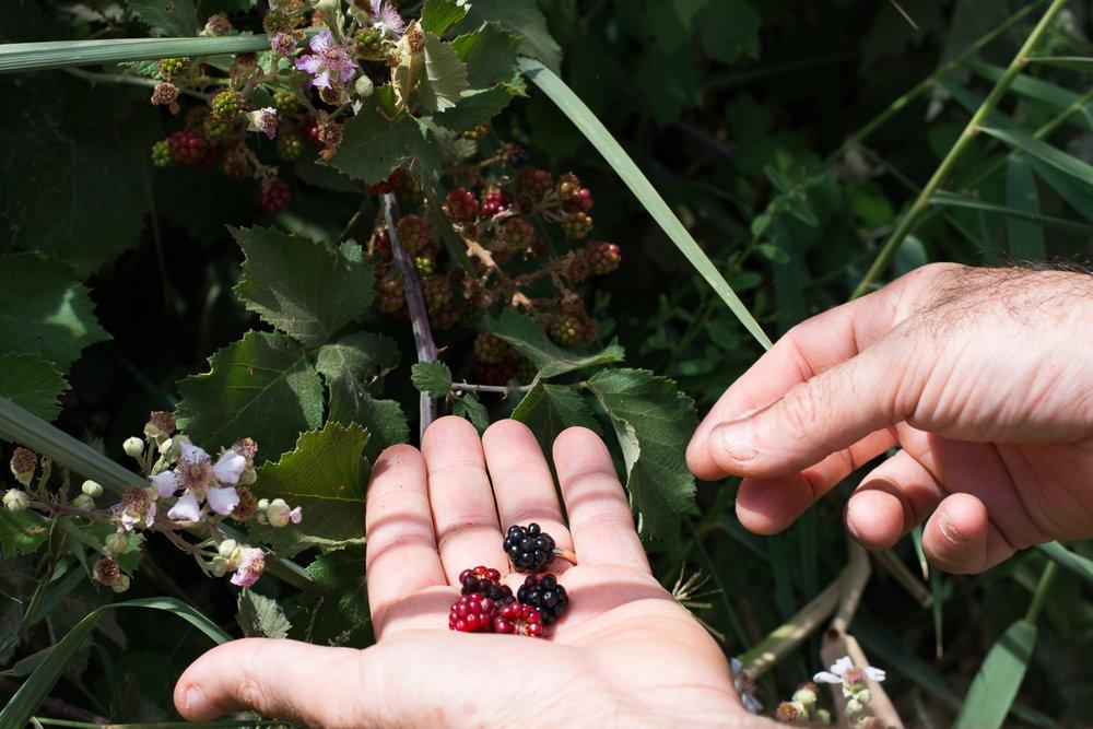 Park Emek Ha-Maayanot, springs valley, wild blackberry, blackberry flower