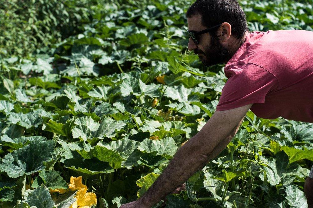 organic farm, pumpkin flower, picking vegetables, organic field