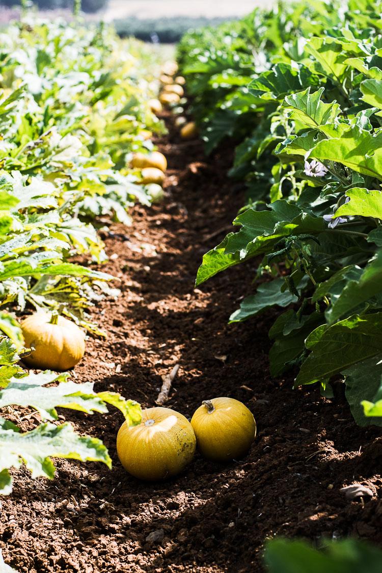 pumpkin, pumpkin patch, organic vegetables, organic farm, merhavia farm