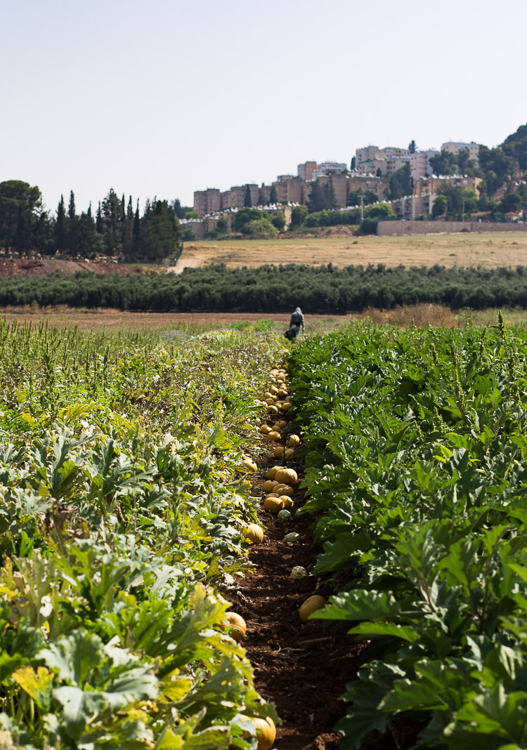 afula, merhavia, organic farm, pumpkin patch, jezreel valley