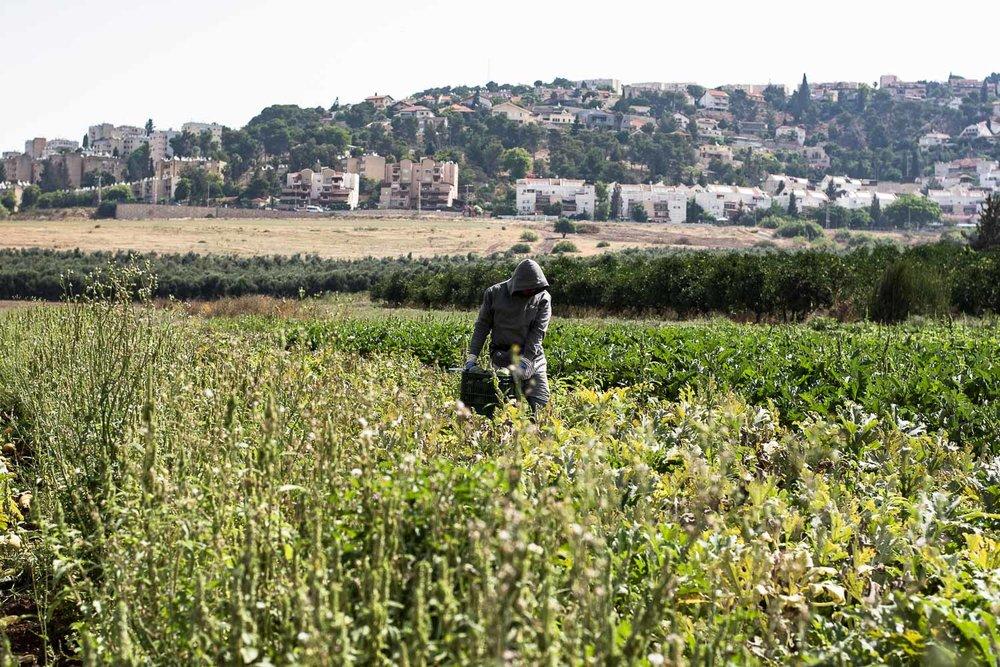 afula, merhavia, jezreel valley, organic farm, farm worker, organic field, CSA farm