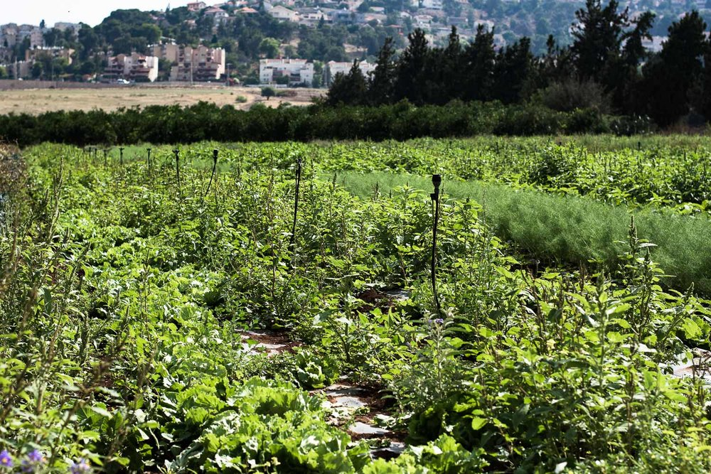Make_Eat_True_Local_Roman_Harod_Valley_19