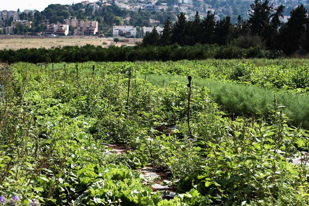 afula, merhavia, jezreel valley, organic farm, organic field, CSA farm, greens