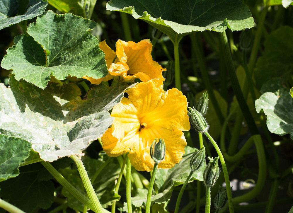afula, merhavia, jezreel valley, organic farm, organic field, CSA farm, pumpkin flower, yellow flower