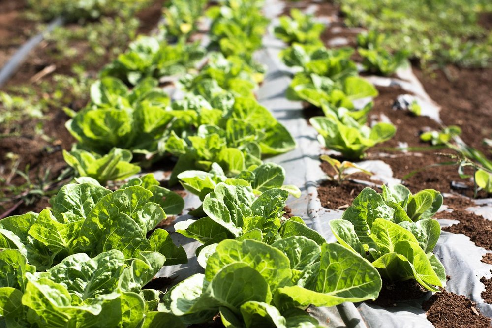 afula, merhavia, jezreel valley, organic farm, organic field, CSA farm, lettuce