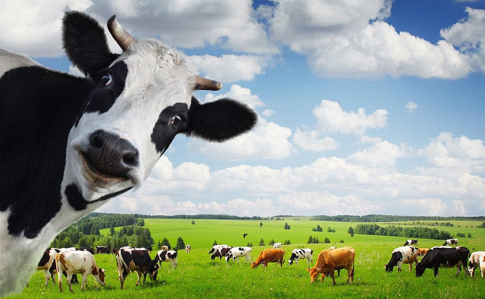 Cow Photo Bomb