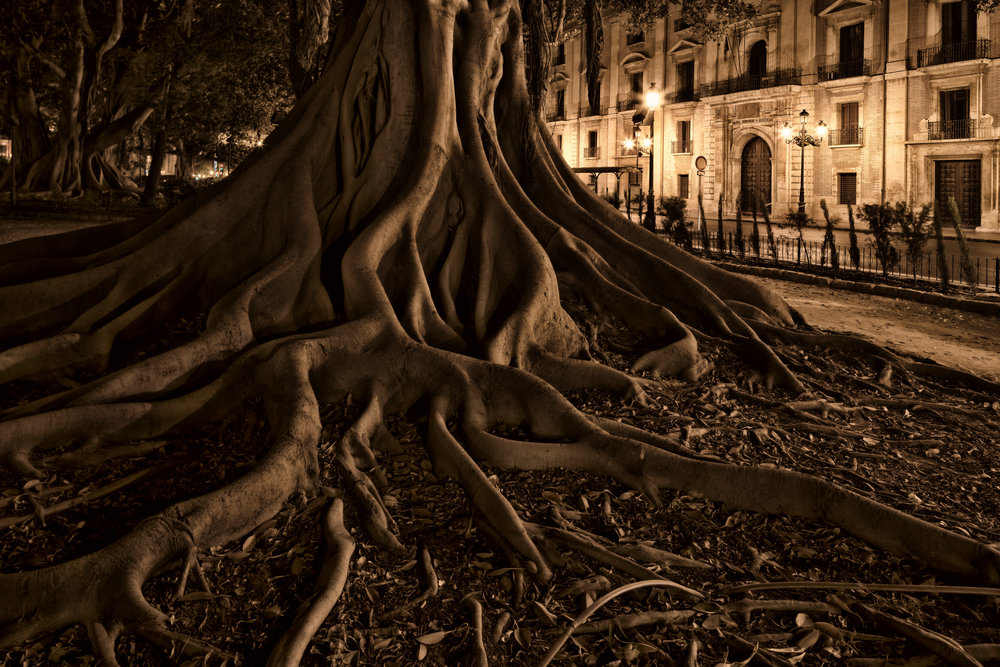 Ficus macrophylla tree in Valencia Spain for ANWB Reiz& magazine