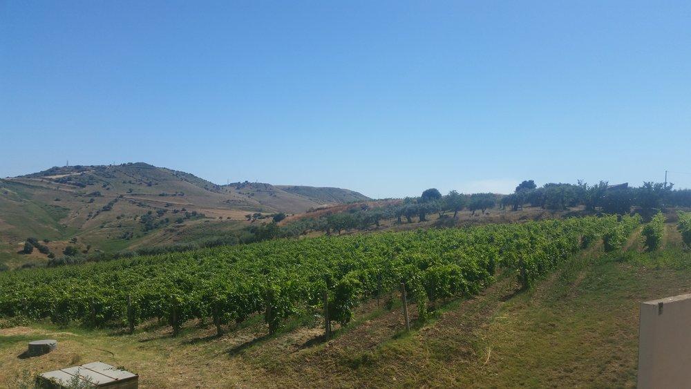 olive farms 1.jpg