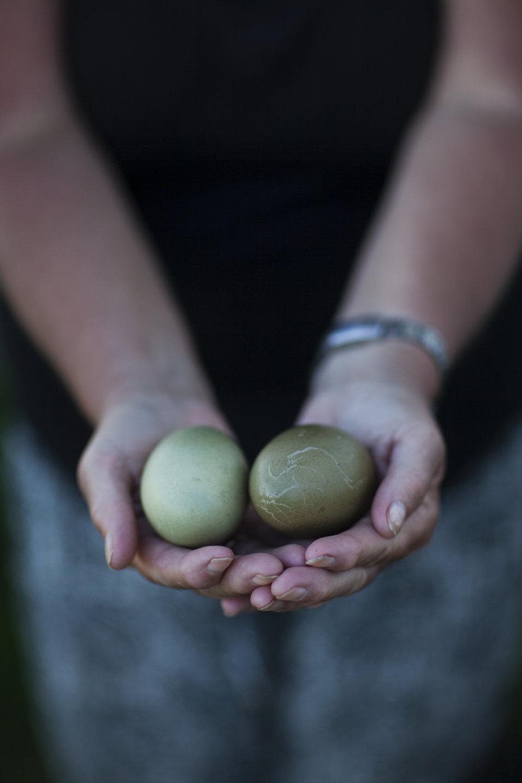 Hilde Kvivik Kavli - eider tender holding eider eggs.jpg