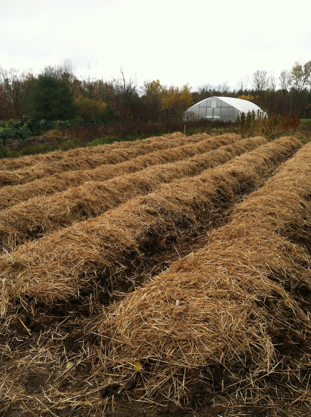 Mulched garlic beds ready for winter.
