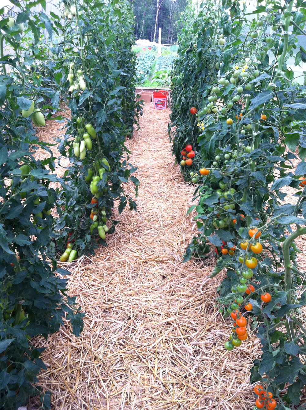Tomatoes in the Rolling Greenhouse