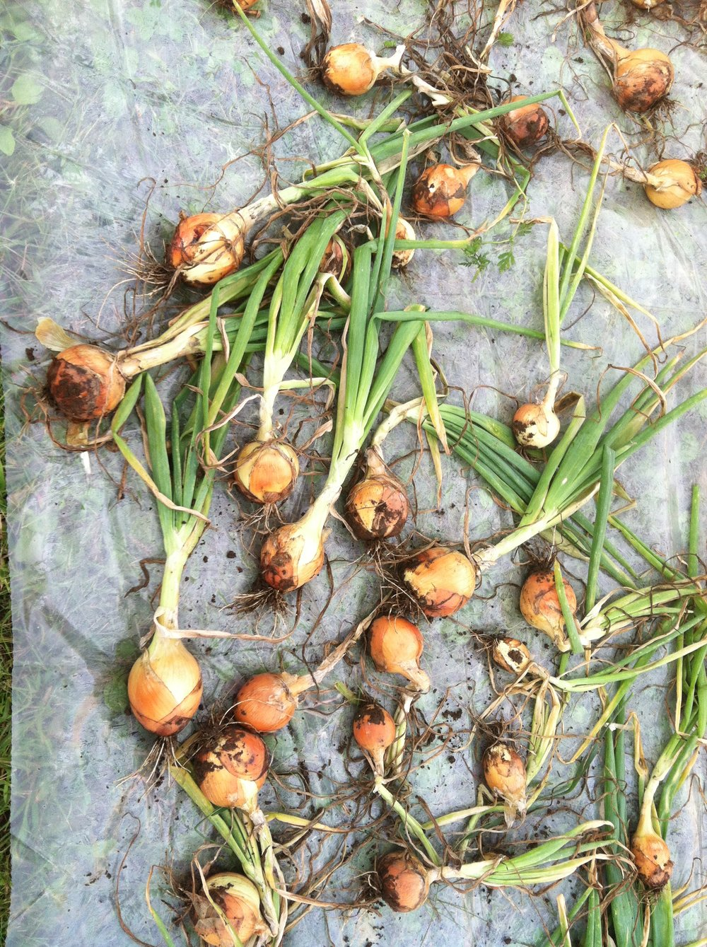 onions-6.jpg