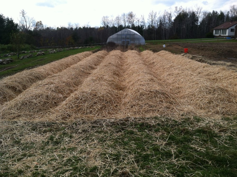 All 6 beds built, garlic planted, and beds mulched with straw-- ready for winter!