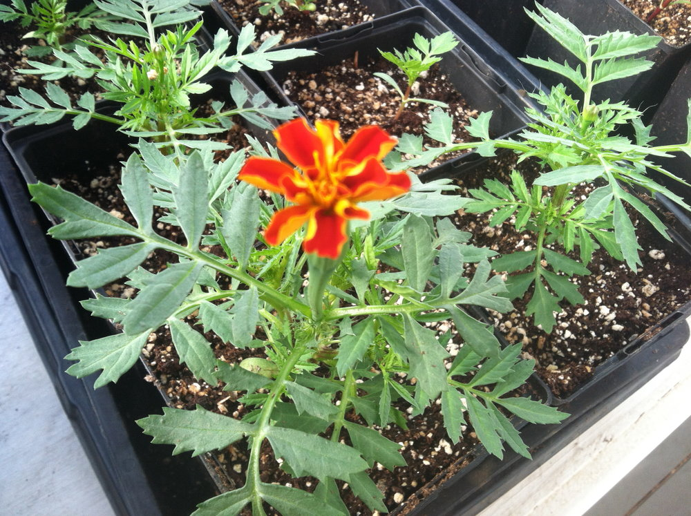 First marigold bloom.
