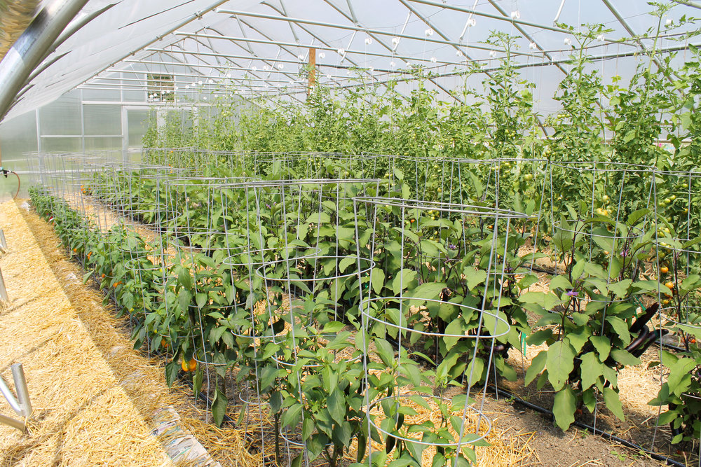 Peppers, Eggplants, Tomatoes, Pickle Vines