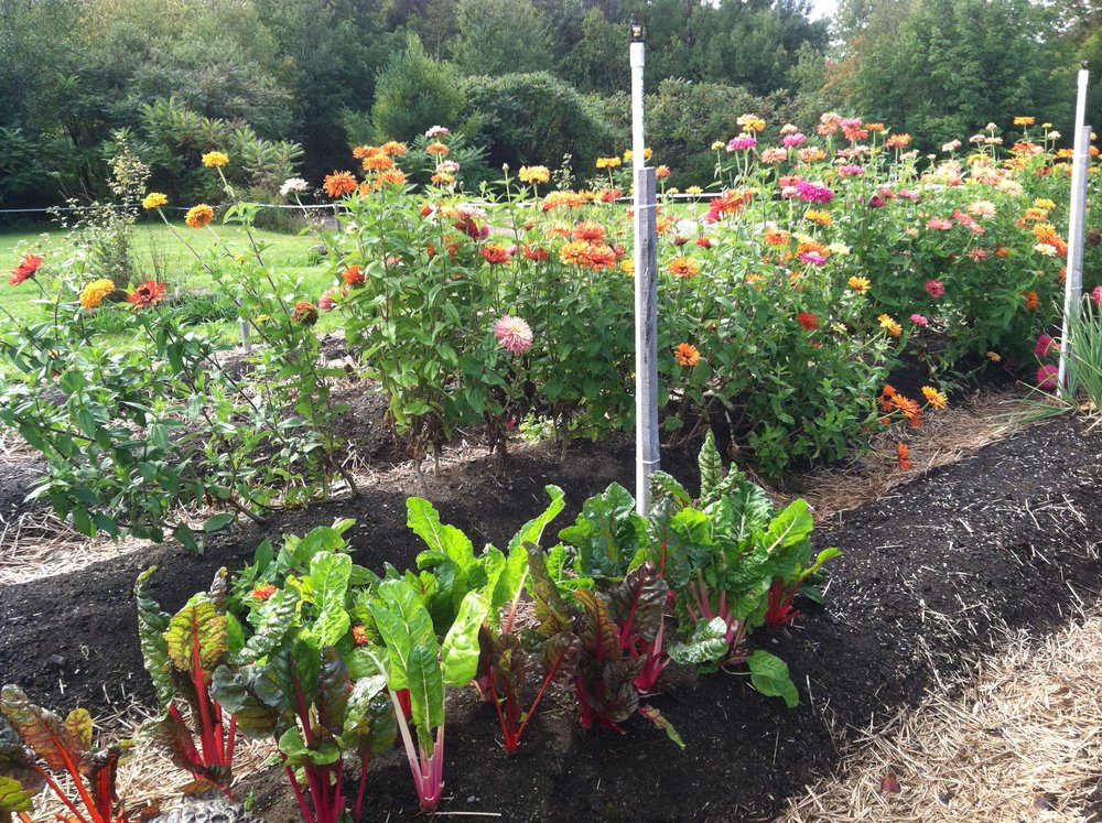 Rainbow chard and cactus zinnias are two of the few remaining plants in the summer garden.