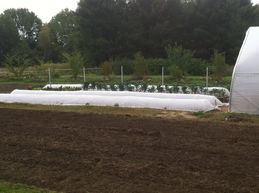 Background--fall/winter crops planted under row covers. Foreground--fallow bed tilled and ready for biochar. Rolling greenhouse will be pulled over winter crops soon.