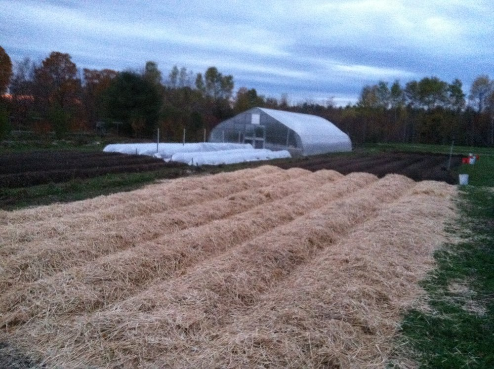 Garlic beds: planted and mulched, ready for winter.