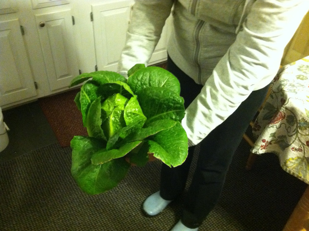 Medium-sized Romaine harvested a few weeks ago.