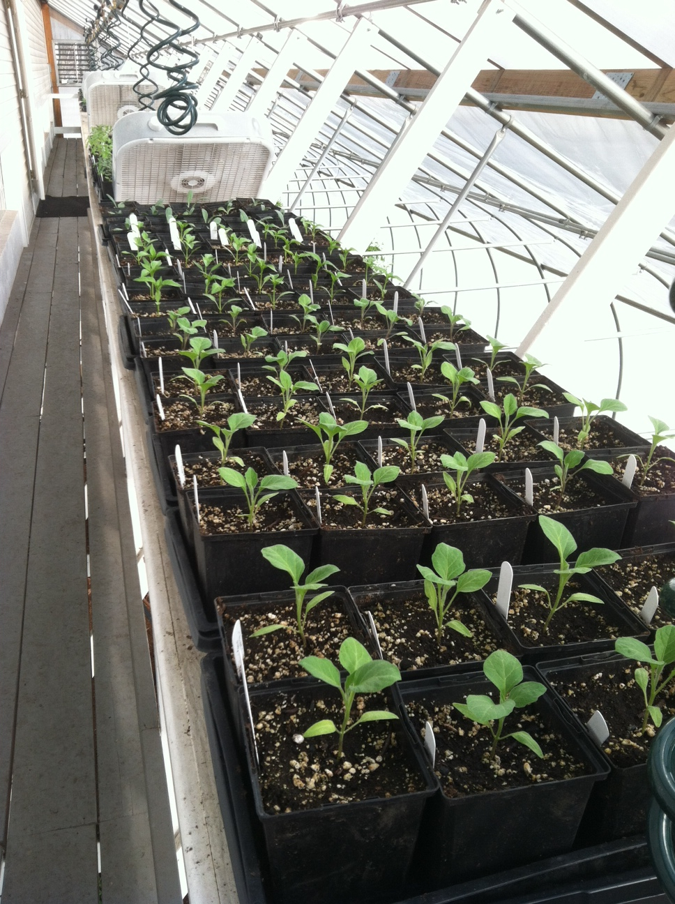 Eggplant seedlings.