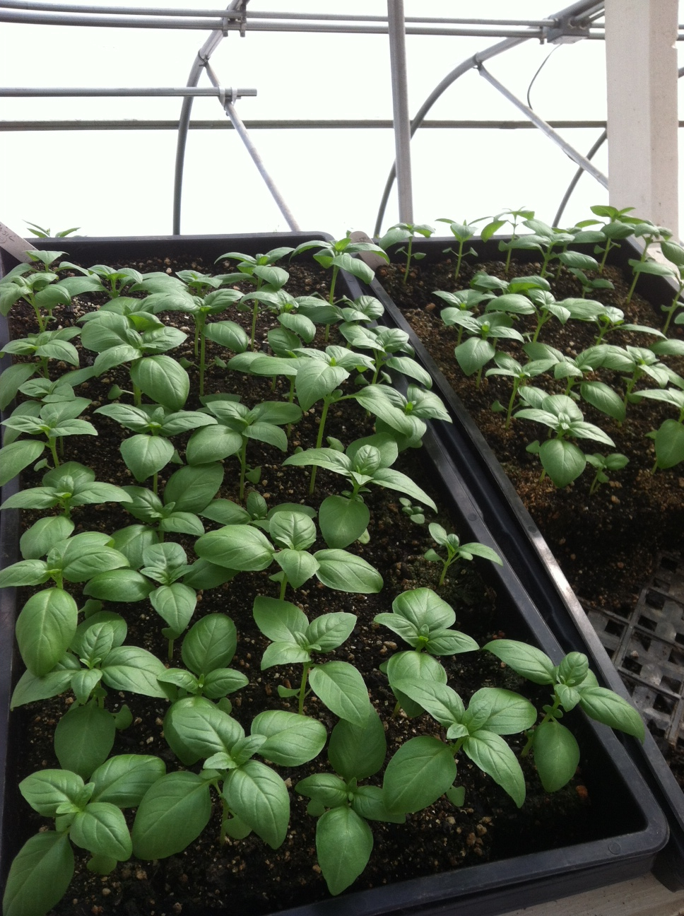 Basil seedlings.