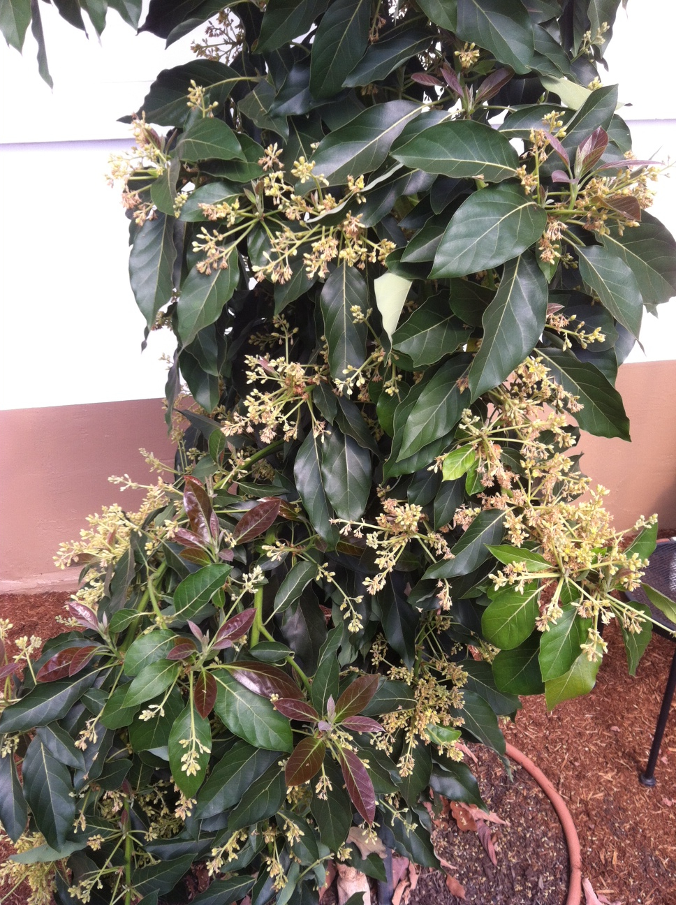 """Littlecado"" avocado tree (dwarf Haas) in bloom."