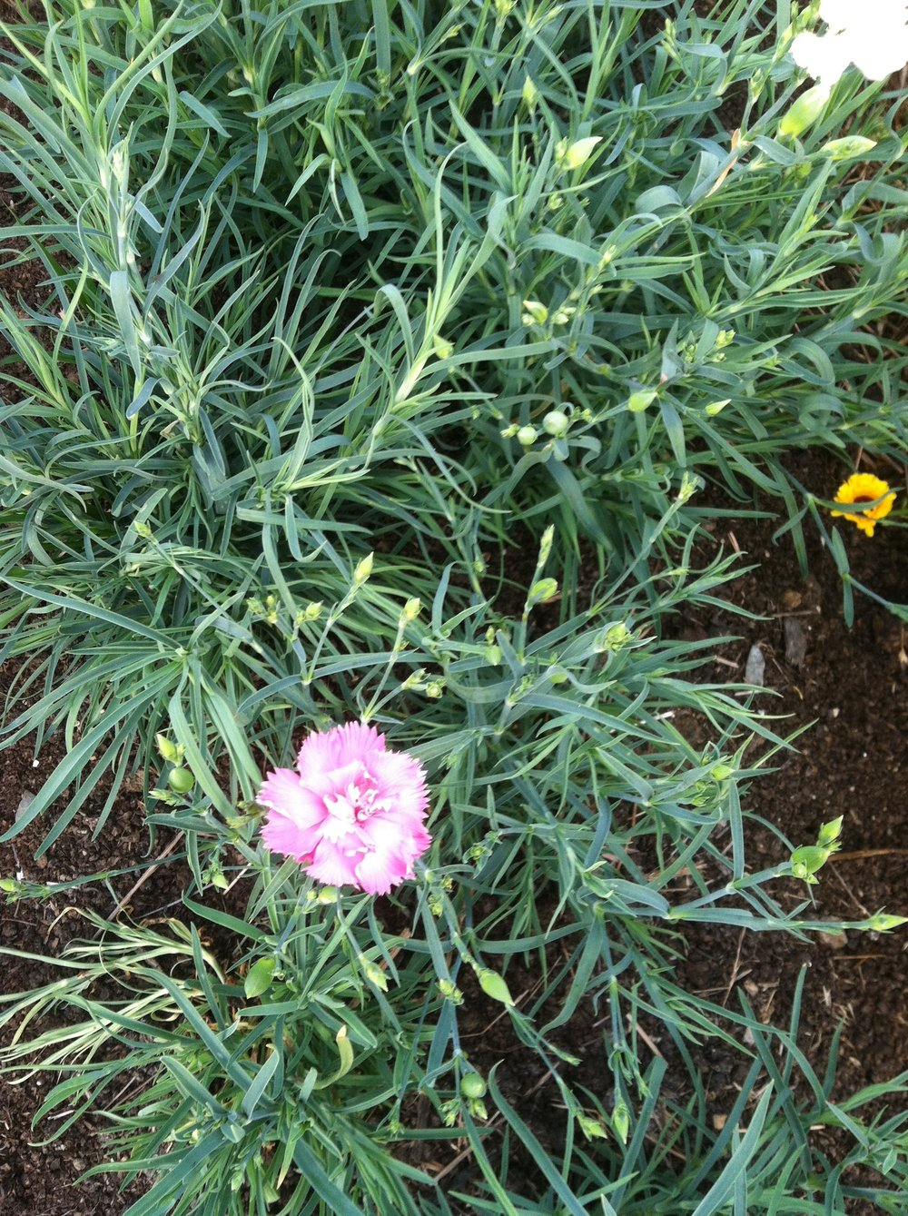 Dianthus just starting to bloom. Intoxicating fragrance.