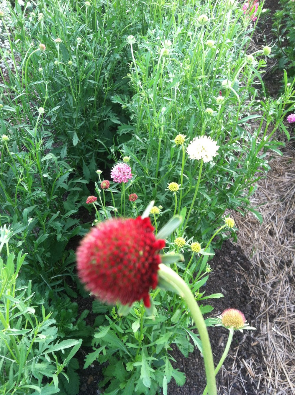 Pincushion flowers
