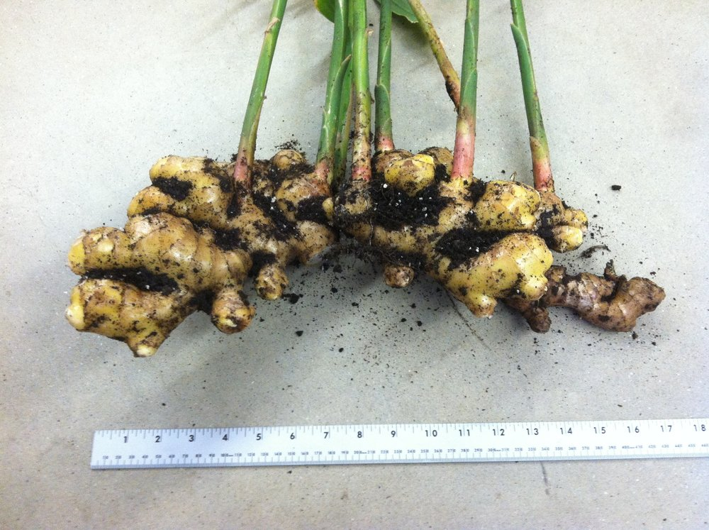 "4 lbs. of ginger ""root"" (rhizome)."