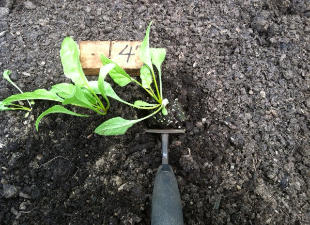 Set the seedling into the hole and backfill around the plant.
