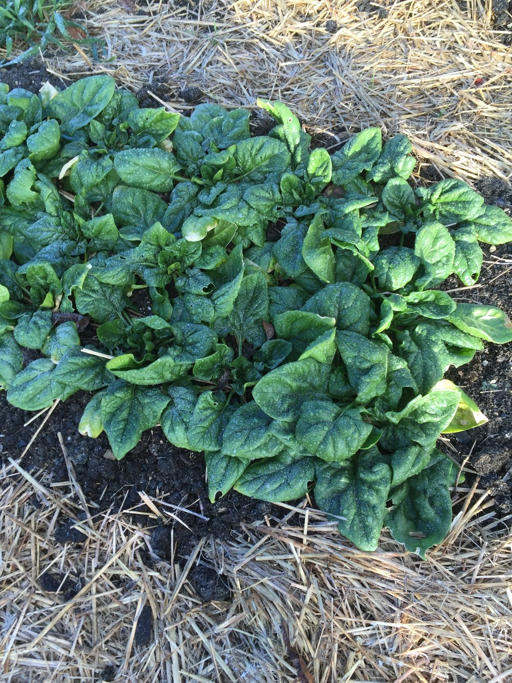 Winter spinach, ready for rolling greenhouse..