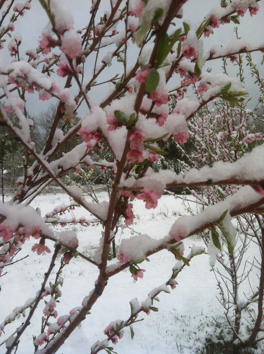 Peach blossoms with snow on Mother's Day.