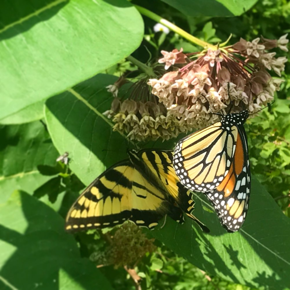 Monarch and Swallowtail
