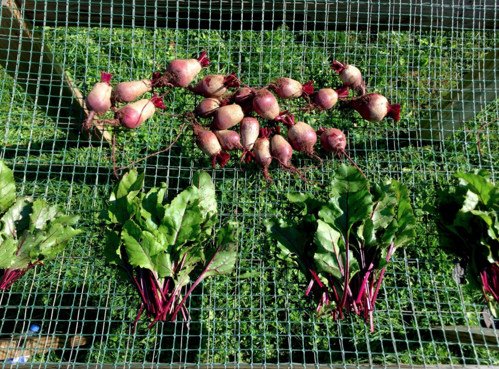 "We harvested beets for our friend Grace, who turns them into delicious ""old fashioned pickled beets"", and we bunched the greens to sell to the Monadnock Food Coop."