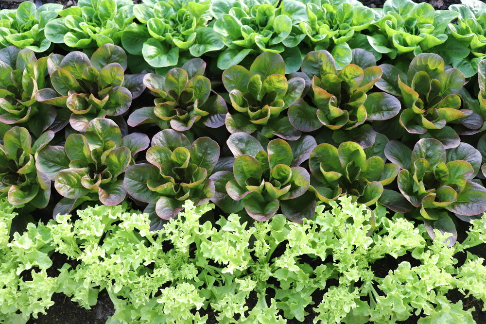 Gorgeous heads of  Salanova  lettuce plumping up.  A unique variety of lettuce, only available through  Johnny's .  Even though they grow into nice heads, the small leaves can be cut to make  salad mix, and then more leaves grow back.  It's a little different than the traditional way of growing salad mix with baby leaf lettuce.  Laurel introduced this new variety to us, and we like it.