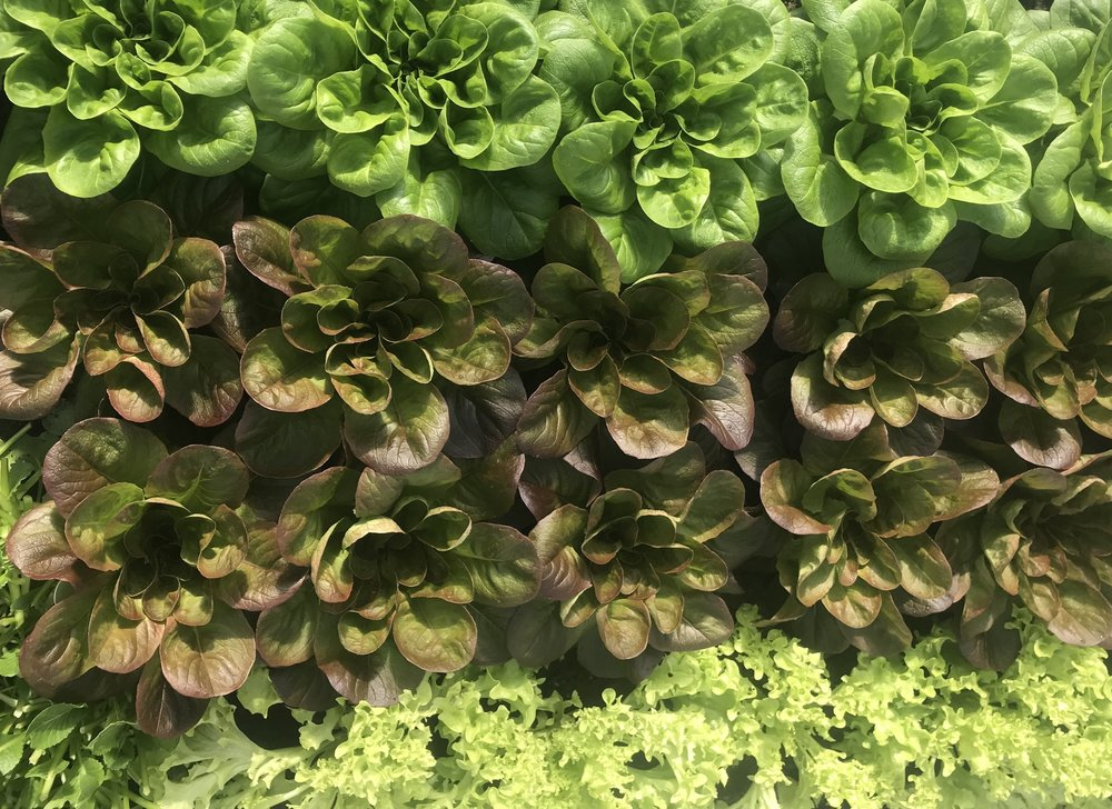 Happy greenhouse Lettuces