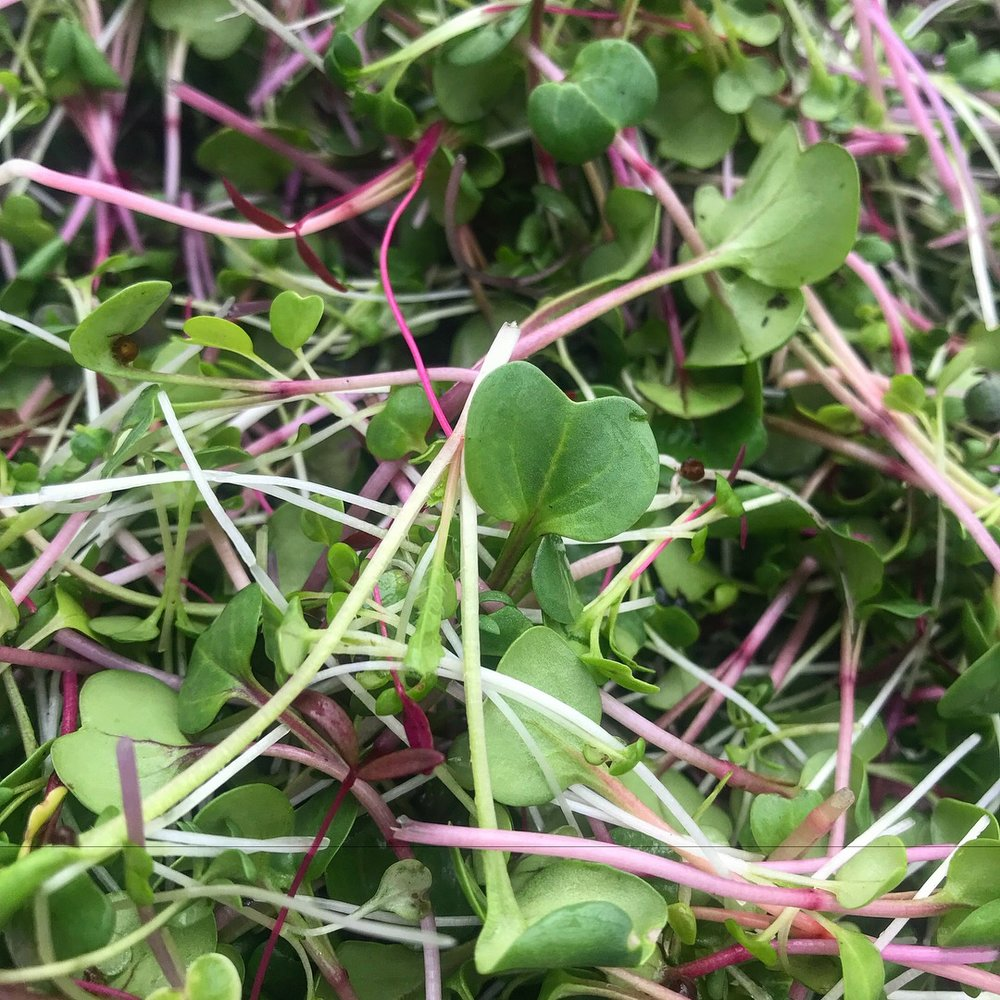 Rainbow Blend Microgreens back in March!
