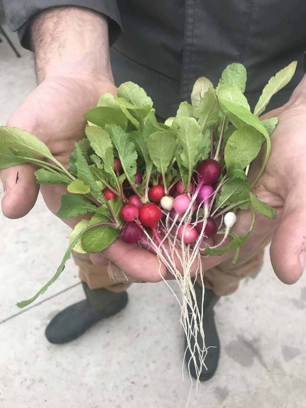 The most adorable teensy tiny radishes. Normal size radishes also available at market...